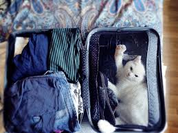 how to travel with a cat images Cat travel flying with cats pet airlines jpg