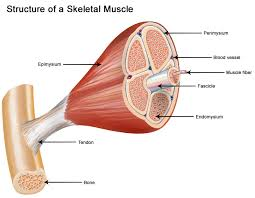 seer training structure of skeletal muscle