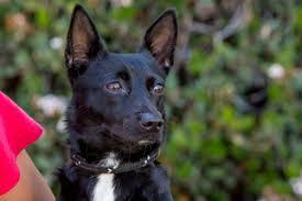 american eskimo dog for sale in colorado american eskimo dog toy puppies and dogs for sale in erie colorado