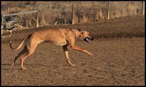 belgian shepherd x greyhound greyhound shepherd mix photos on flickr flickr