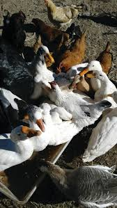 backyard flock of ducks geese found slaughtered the taos news