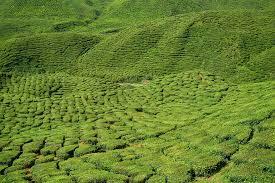 free photo tea nature plant field peace tiny tree max pixel