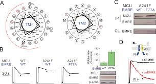 dual functions of a small regulatory subunit in the mitochondrial