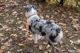 australian shepherd illinois stonger miniature and standard aussies miniature and standard