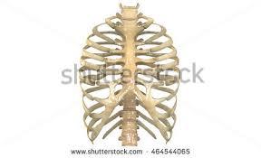 Human Vertebral Column Anatomy Human Skeleton Ribs Vertebral Column Anatomy Stock Illustration
