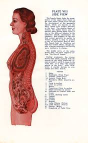 Male And Female Anatomy Sexology Circa 1942 Vintage Anatomical Charts Of The Male And