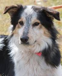australian shepherd los angeles rescue los angeles ca border collie australian shepherd mix meet
