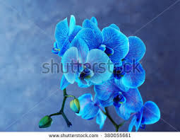 Blue Orchid Flower Beautiful Blue Orchid Flowers On Black Stock Photo 360350807