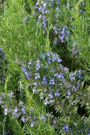 native plants of france tuscan blue rosemary monrovia tuscan blue rosemary