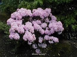 kalmia latifolia kalmia latifolia wholesale nursery supplies u0026 plant growers in