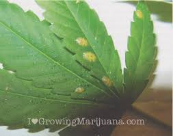 how to get rid of pests and bugs on plants the weed blog