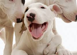 bull terrier miniature dog puppy dog gallery
