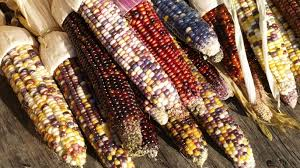 indian corn a fall favorite hungry history