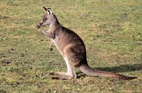 southpaws down under most kangaroos are lefties
