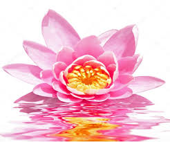 beautiful pink lotus flower floating in water u2014 stock photo