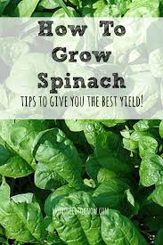 What To Plant In Your Vegetable Garden by How To Grow Spinach In Your Garden Moms Need To Know