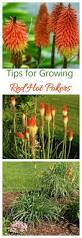 Heat Resistant Plants Red Poker Growing And Caring For Torch Lilies The
