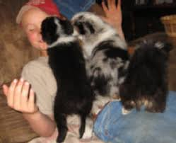 australian shepherd in california puppies for sale u2014 circle k farms teacup tiny toys toys and