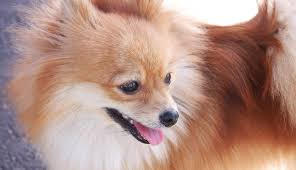 cute dog christmas wallpapers dogs wallpapers page 21 pomeranian dog dogs christmas wallpaper