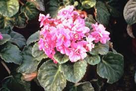 african violet grow light violets fluorescent lighting home guides sf gate
