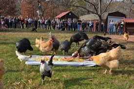 the animal sanctuary where you eat thanksgiving with turkeys