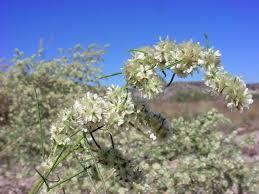 vascular plants of the gila wilderness vascular plants of the gila wilderness ambrosia monogyra