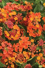 high heat plants 37 best drought tolerant plants images on pinterest flowers