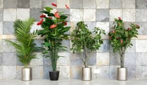 plants for office benefits of office plants plants for the office ambius us
