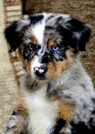 australian shepherd male names australian shepherd puppy if he was mine his name would be