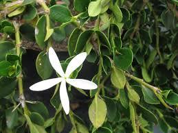 carissa green carpet plant image vidalondon macrocarpa arafen