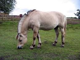 fjord horse wikipedia