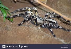 indian ornamental tarantula stock photo royalty free image