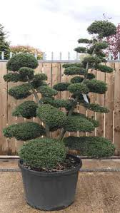 Topiary Cloud Trees - spectacular shaped japanese cloud tree buy uk