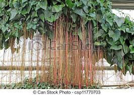 Tropical Plants Images - stock photography of aerial roots of tropical plants close up of