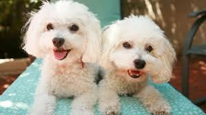 bichon frise 4 months old bichon frise puppies for sale at petsyoulike youtube