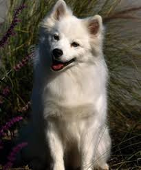american eskimo dog rescue michigan the american eskimo dog