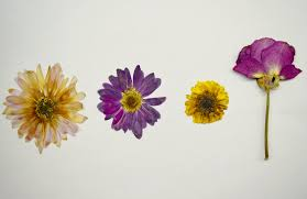 pressed flowers how to make pressed flowers 1800flowers petal talk