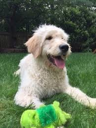 goldendoodle puppy virginia view ad goldendoodle puppy for sale virginia reston usa