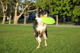 australian shepherd family dog australian shepherd dog breed information on australian shepherds