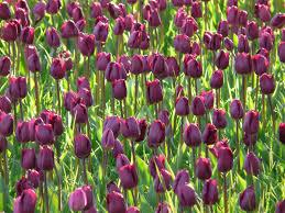 Tulip Field Free Images Flower Petal Botany Flora Flowers Violet