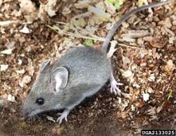 Are Mice Blind Mice Voles And Moles