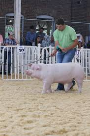 2014 wpx jr national landrace barrow results by national swine