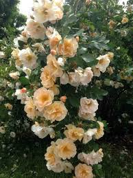 above and beyond climbing rose plant library pahl u0027s market