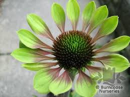 Lime Green Flowers - echinacea green envy coneflower i like this lime green color