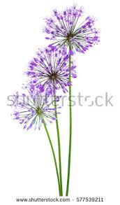 allium flowers allium stock images royalty free images vectors