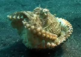 this amazing octopus uses shells as tools joy of animals