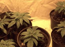 how well would a plant grow under pure yellow light growing marijuana indoors