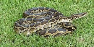 film ular phyton sulawesi barat disebut sarang ular piton 1 000 ekor diperdagangkan