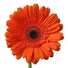 gerbera daisies orange gerbera