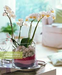 Sand Vase Gap Gardens Phalaenopsis In Glass Vase Filled With Stones And